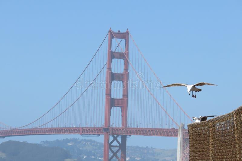 有鸟的旧金山金门大桥 库存图片