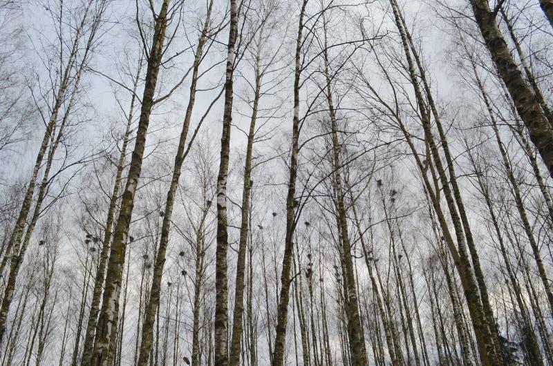 有鸟的春天森林筑巢,树树干反对天空,鸟的春天嵌套 免版税图库摄影