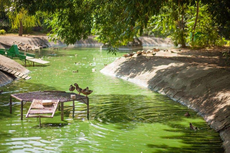 有鸭子的绿色湖在动物园里 免版税库存照片