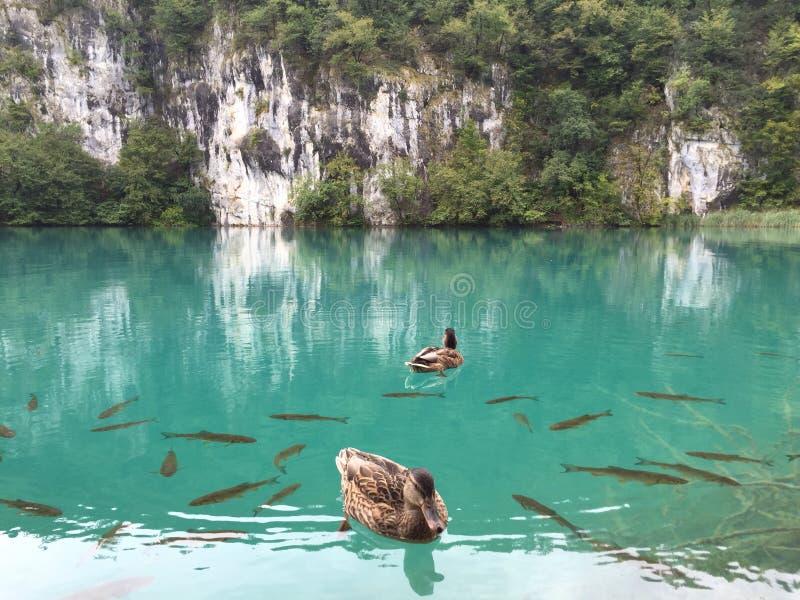 有鸭子的美丽的湖 库存照片