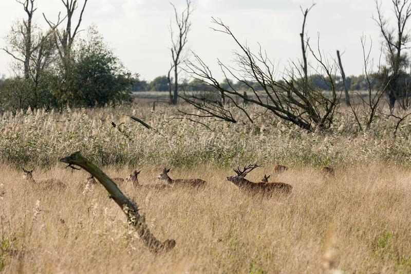 有鹿的国家公园Oostvaardersplassen在交配季节 免版税库存照片