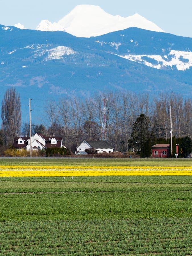 有黄水仙的农田在华盛顿州,美国调遣 免版税图库摄影