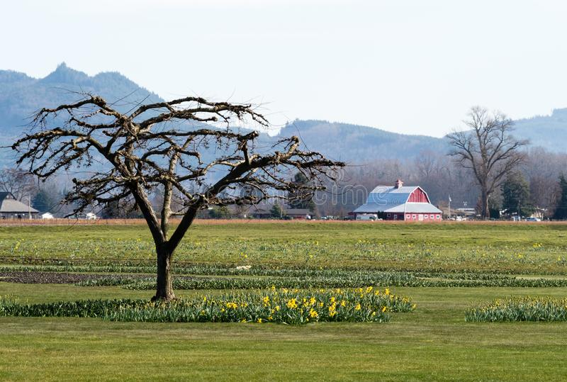 有黄水仙的农田在华盛顿州,美国调遣 库存图片
