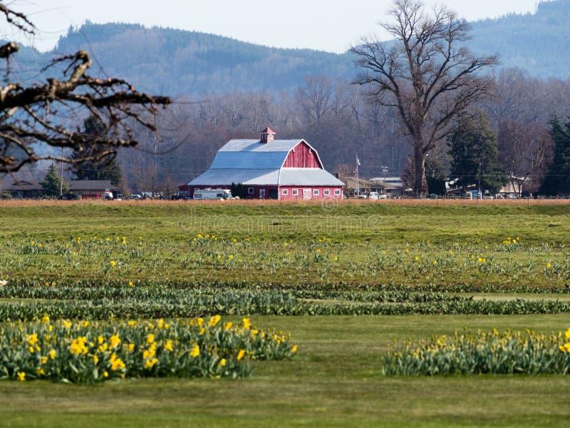 有黄水仙的农田在华盛顿州,美国调遣 图库摄影