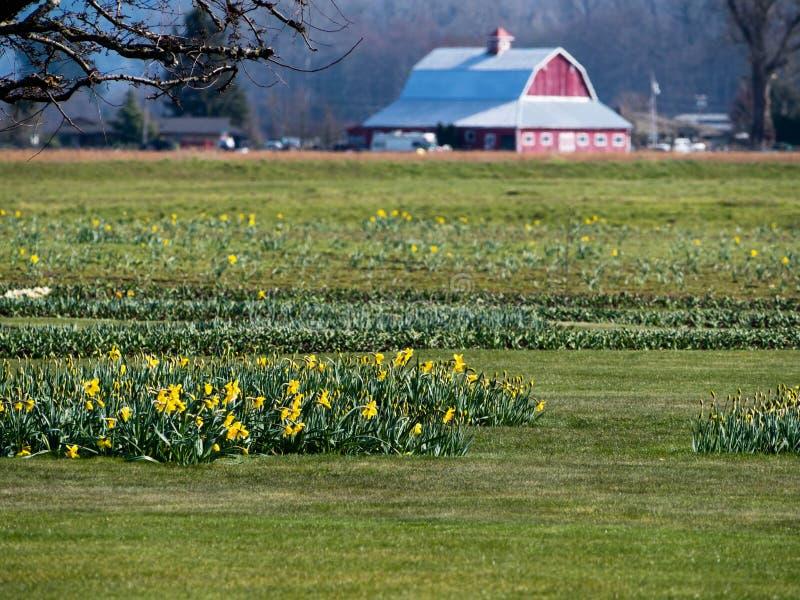 有黄水仙的农田在华盛顿州,美国调遣 免版税库存图片