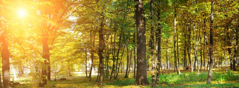 有黄色叶子和太阳的秋天森林 宽照片 库存图片