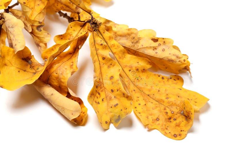 有黄色叶子的干燥秋天橡木枝杈在白色 免版税库存照片