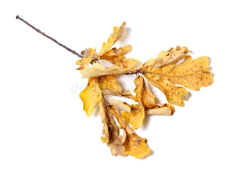 有黄色叶子的干燥秋天橡木枝杈 免版税库存图片