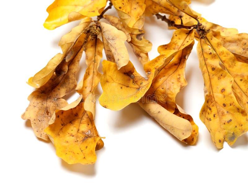 有黄色叶子的干秋天橡木枝杈 免版税库存照片