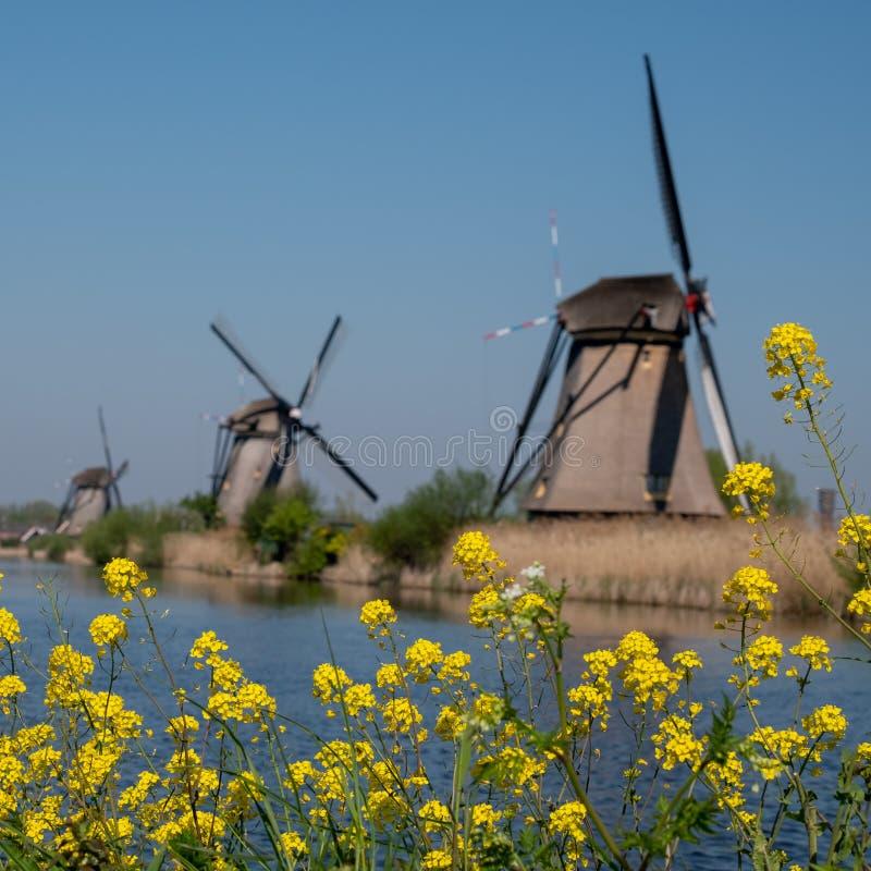 有黄色春天花的历史的风车在前景,在小孩堤防,荷兰 库存图片