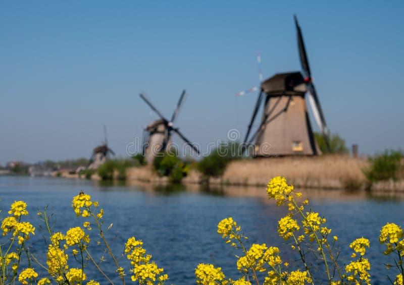 有黄色春天花的历史的风车在前景,在小孩堤防,荷兰 免版税库存照片