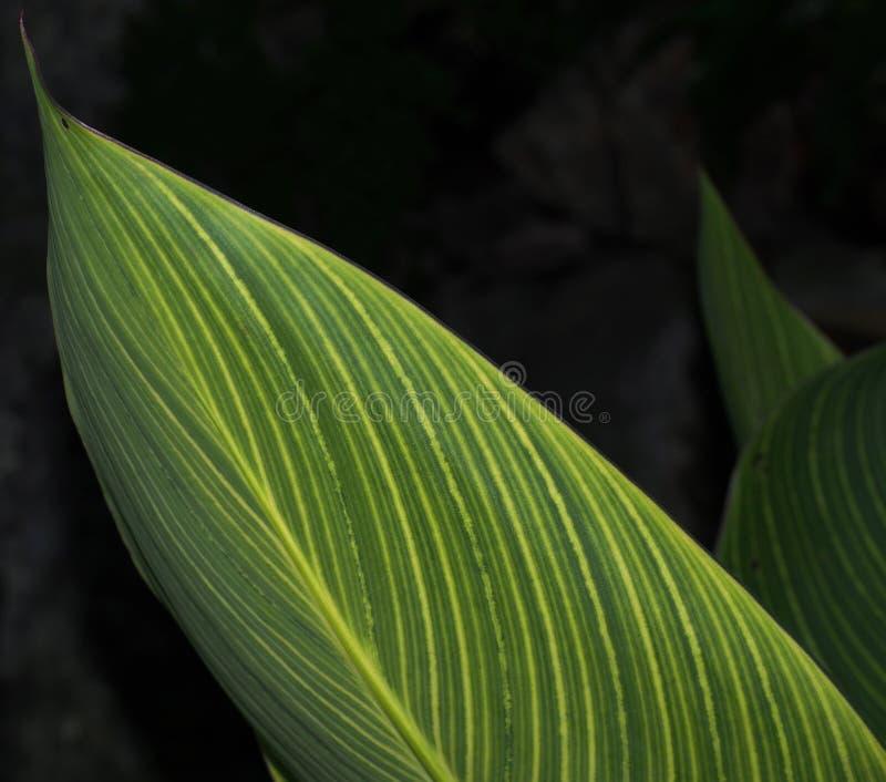 有黄色条纹的绿色叶子 免版税库存图片