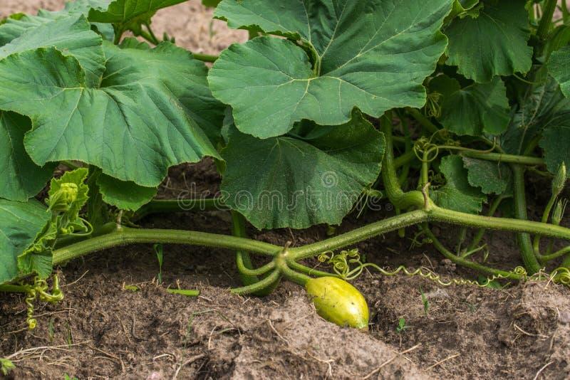 有黄色果树栽培的夏南瓜植物在庭院床上 免版税库存图片