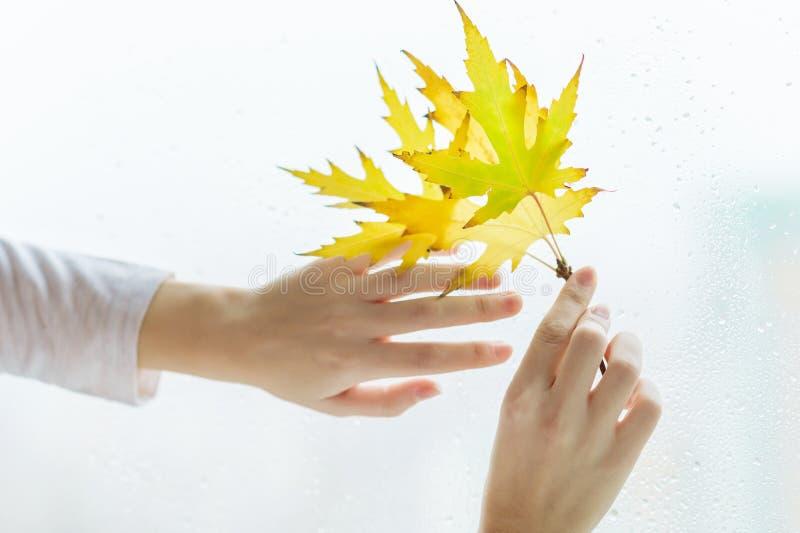 有黄色秋天枫叶分支的,与雨珠的背景窗口妇女的手 秋天秋天森林路径季节 库存图片