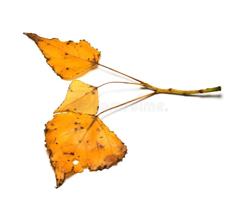 有黄色秋天的白杨树枝杈察觉了叶子 免版税图库摄影
