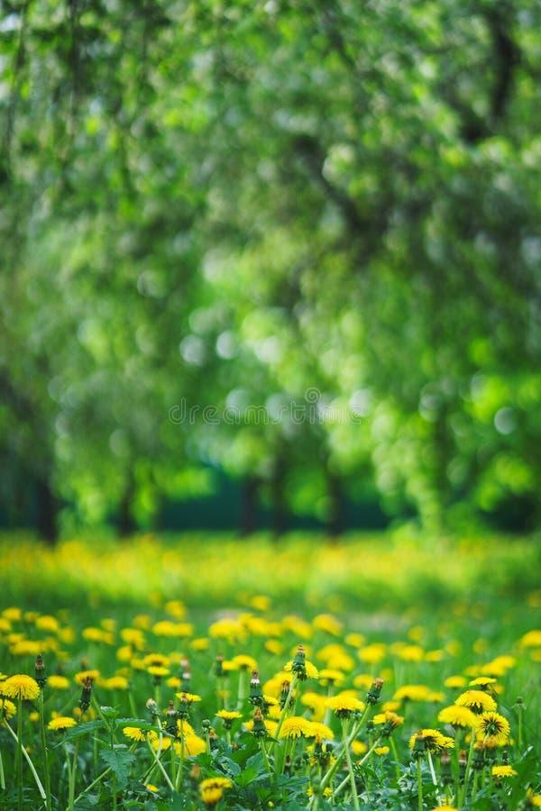 有黄色花和高新鲜的绿草的明亮的夏天草坪是野餐的一个不可思议的地方 免版税库存图片