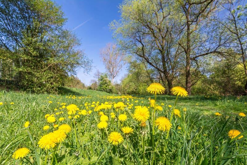 有黄色蒲公英花和树的平安的草甸在背景中 免版税库存图片