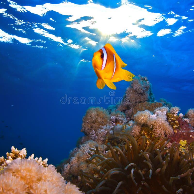 有黄色clownfish银莲花属的珊瑚庭院  图库摄影