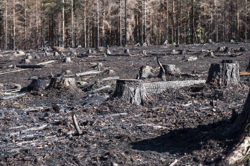 有黑树桩特写镜头的被烧的区域在阳光下在森林火灾以后 库存照片