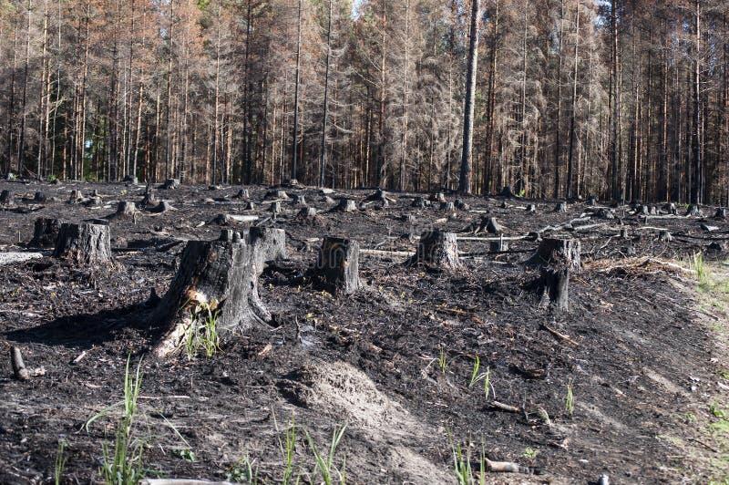 有黑树桩的被烧的区域在森林火灾以后的阳光下在沼地 免版税库存图片