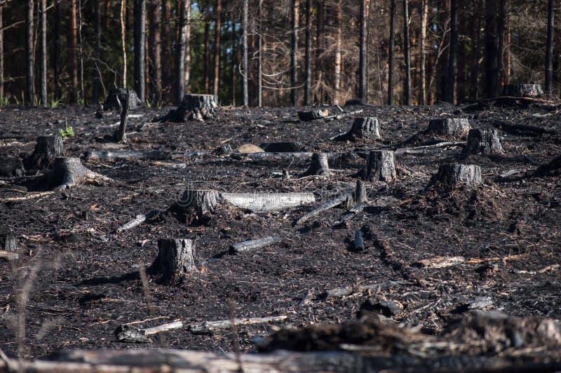 有黑树桩的被烧的区域在森林火灾以后的阳光下 免版税库存图片