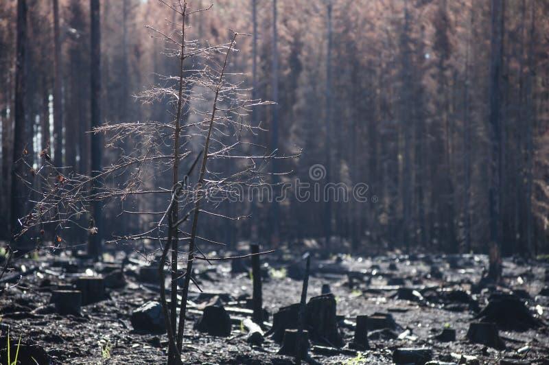 有黑树桩的被烧的区域在森林火灾以后的阳光下 图库摄影