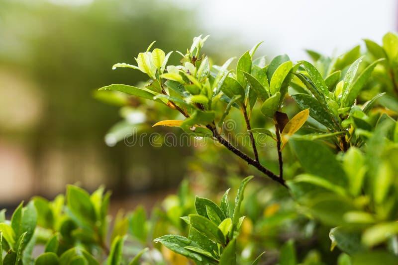 Download 有水下落的植物叶子 库存图片. 图片 包括有 新鲜, 植物群, 特写镜头, 叶子, 下落, bossies - 72355547