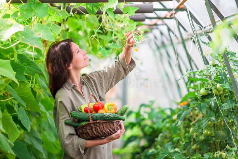 有绿叶和菜篮子的少妇自温室 收割期 库存照片