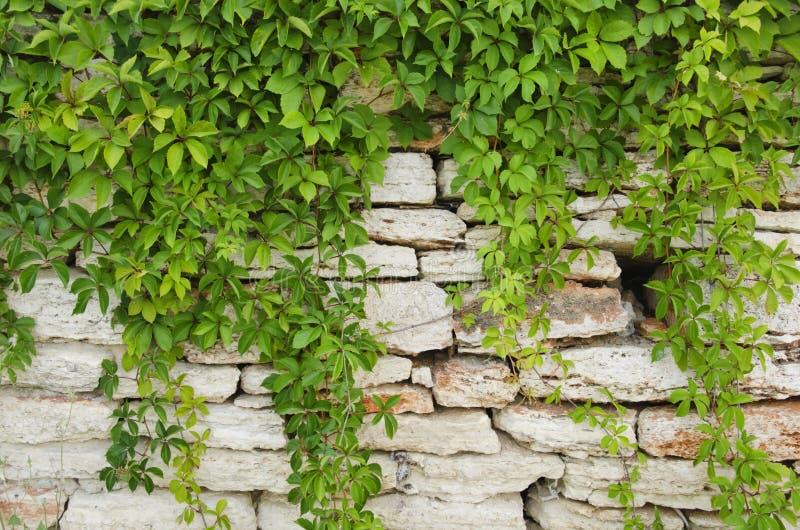 有绿叶的石墙 库存图片