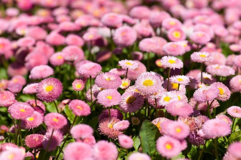 有延命菊的花圃 库存图片
