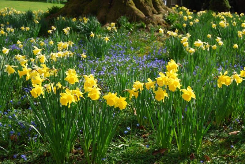 有黄水仙和银莲花属花的春天庭院 库存图片