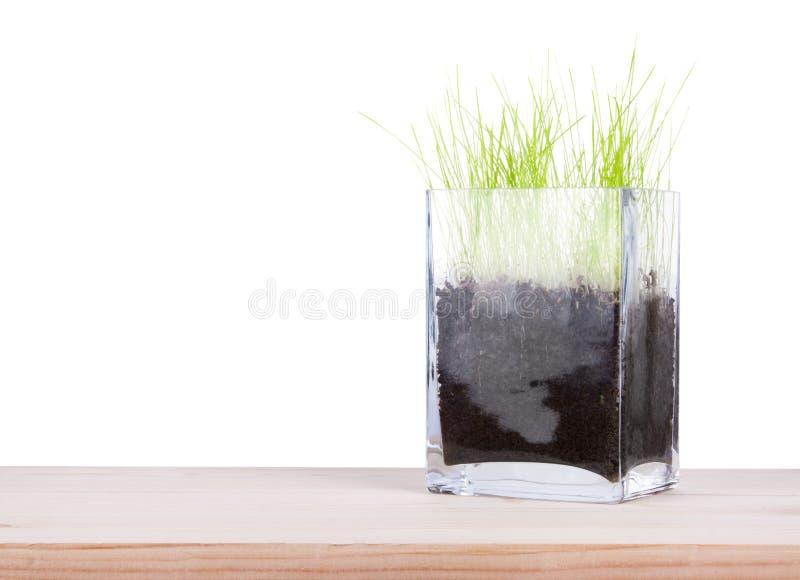 有年轻新鲜的绿草的玻璃花瓶 库存照片