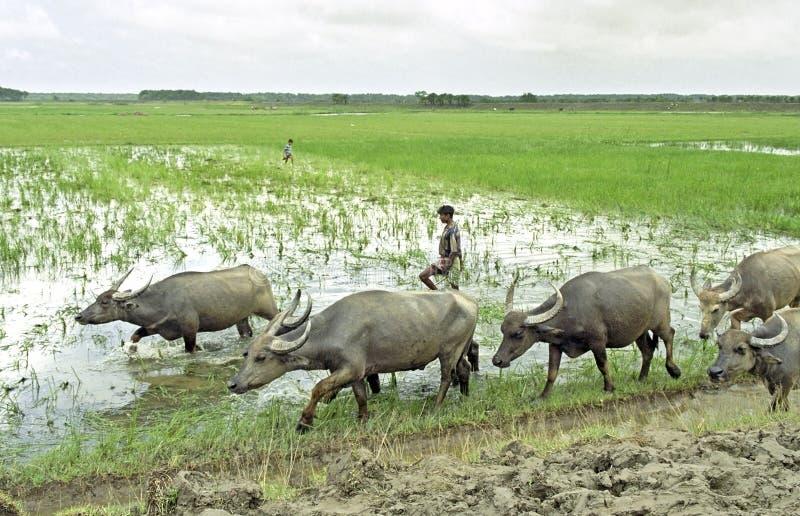 有水牛的农夫在他的对croplands的途中 免版税图库摄影