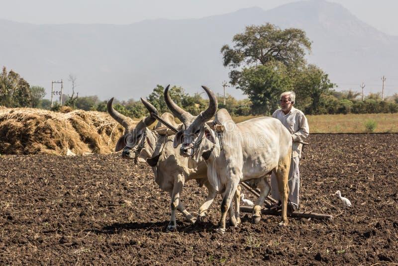 有黄牛的农夫 免版税库存图片
