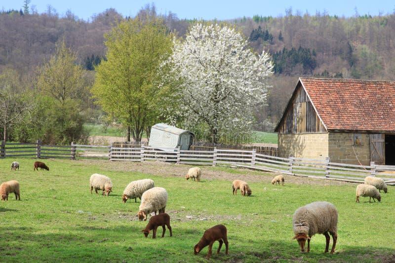 有绵羊和谷仓的农场 免版税图库摄影