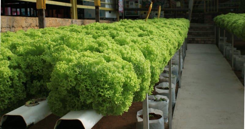 有水耕的文化的蔬菜沙拉种植园在马来西亚 库存照片