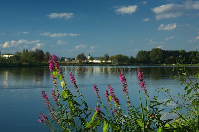 有紫色珍珠菜的池塘 库存图片