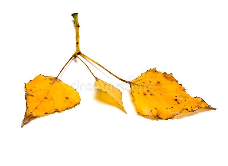 有黄色秋叶的白杨树枝杈 免版税库存图片