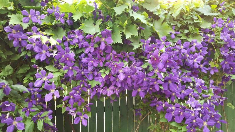 有紫色花的令人惊讶的垂悬的植物在绿色篱芭 免版税库存照片