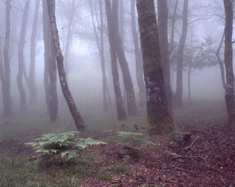 有绿色蕨的有雾的森林 库存图片