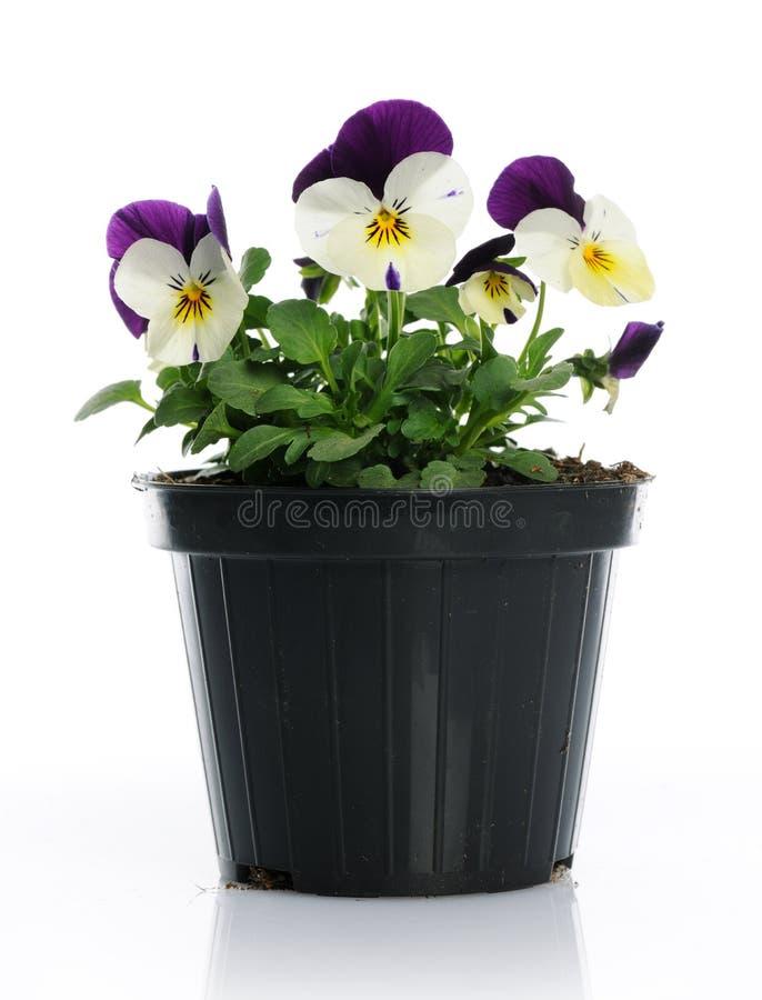 有蝴蝶花的罐 免版税库存照片