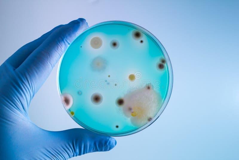 有bacterias样品的技术员在培养皿 免版税库存图片