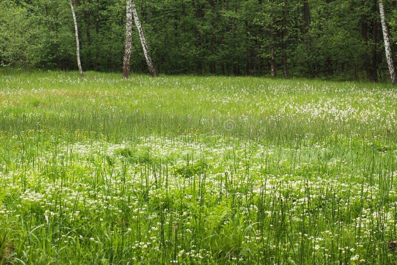 有cottongrass的草甸 图库摄影