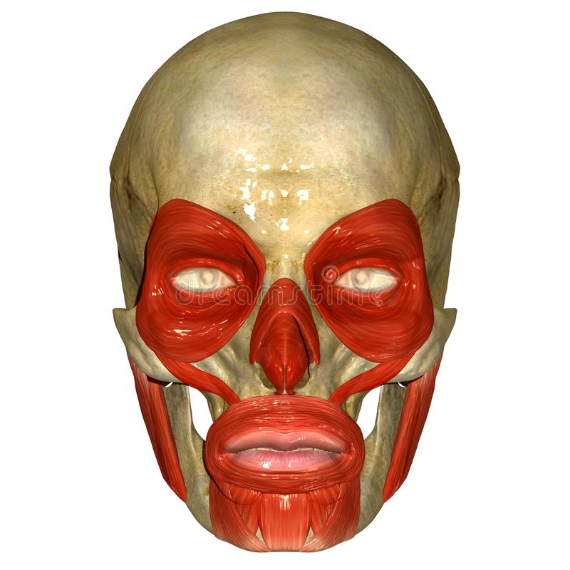 有orbicularis oculi肌肉的头骨 皇族释放例证