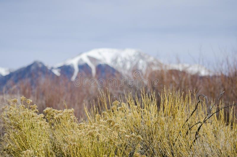 有Sangre de克里斯多Mountains的高山峰顶的橡胶一枝黄厂在背景中 免版税库存图片