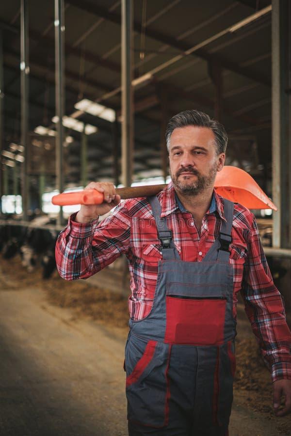 有showel的农夫在奶牛场的一个牛棚 库存图片