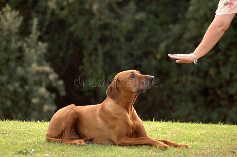 服从的狗 免版税图库摄影