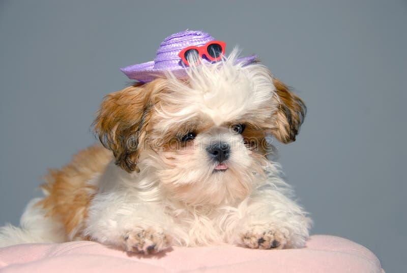 Download 服装shih tzu假期 库存照片. 图片 包括有 敌意, 节假日, 毛茸, 毛皮, 似犬, 穿戴, 小狗 - 3655906