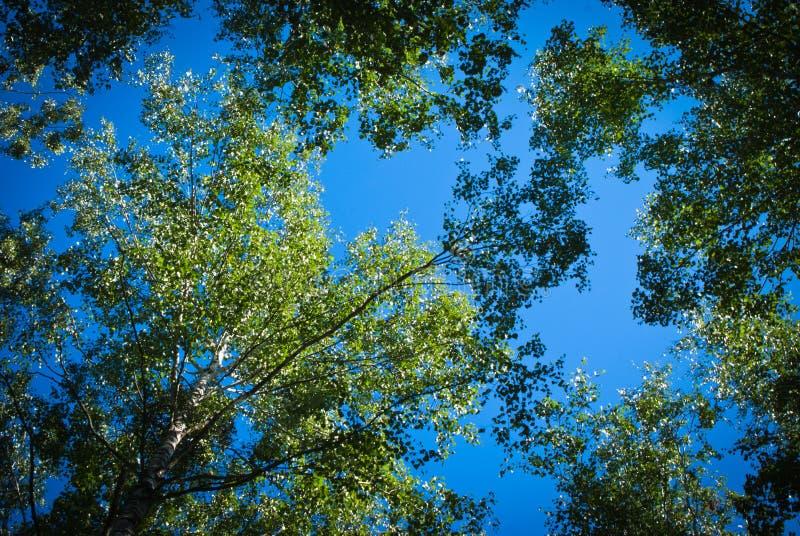晴朗的夏天桦树森林 免版税图库摄影