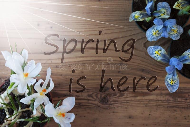 晴朗的番红花和风信花,文本春天在这里 免版税库存图片
